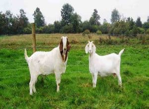 start a goat farming business in India